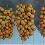 Piennoli di pomodorino giallo campano (fonte: www.sito.regione.campania.it)