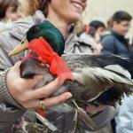Un'anatra alla benedizione degli animali per Sant'Antonio (ph Martina D'Amodio)