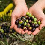 Raccolta delle olive presso un B&B nel Cilento