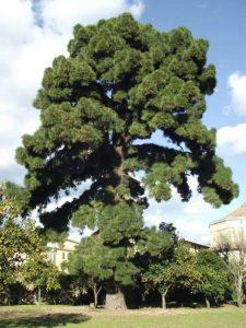 Il Pino delle Canarie nel giardino della storica Villa Ravaschieri, a Roccapiemonte (SA), prima della potatura e dell'ossigenazione delle radici