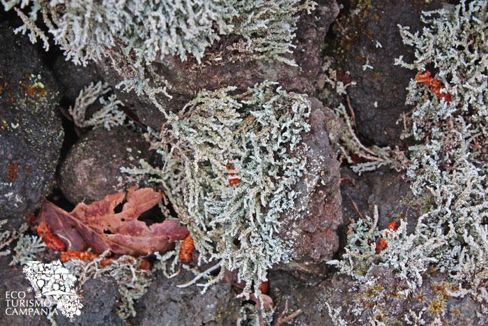 Dettaglio del lichene Stereocaulon Vesuvianum (ph Umberto Saetta)