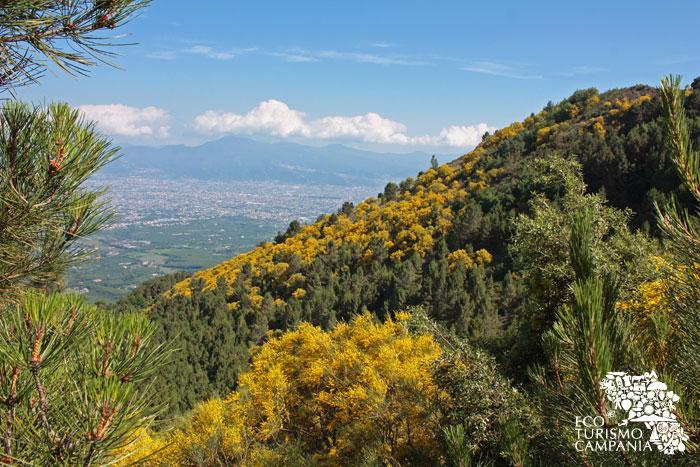 Le ginestre sul Monte Somma - Vesuvio (ph Umberto Saetta)