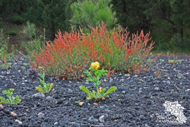 Il galusium e la romice rossa sul Vesuvio - Monte Somma (ph Umberto Saetta)