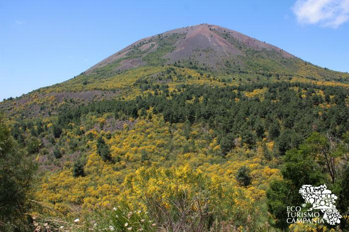 Le ginestre nella Valle dell'Inferno, sul Monte Somma - Vesuvio (ph Umberto Saetta)