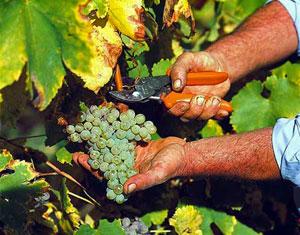 Vitigno e grappolo di Fiano di Avellino
