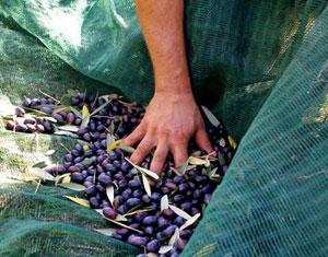 La raccolta delle olive ad Albanella, nel Cilento