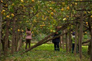 Il limoneto ecosostenibile a Napoli coltivato da Sofia de Capoa